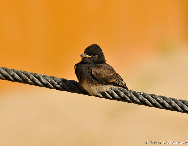 A Fledgling Black Phoebe perched on the wire of the Asian Elephant enclosure at the LA Zoo