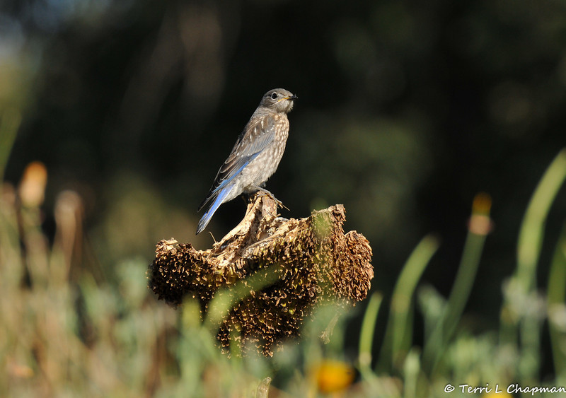 A fledgling Western Bluebird perched on a sunflower that had been eaten by the birds