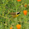 A male Common Yellowthroat Warbler in a field of wildflowers