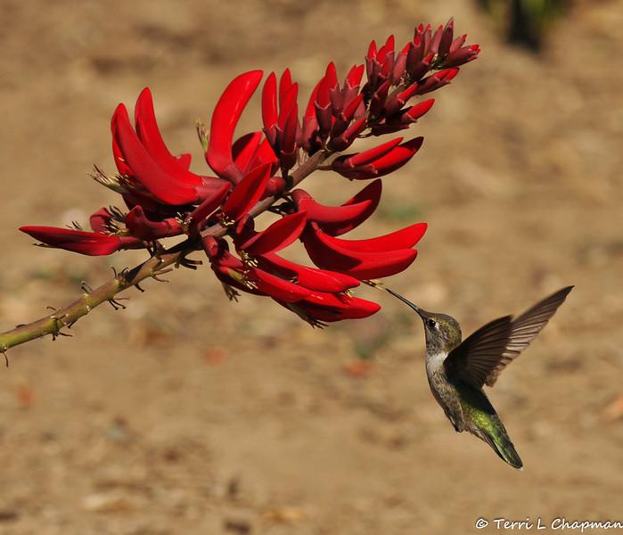 An Anna's Hummingbird