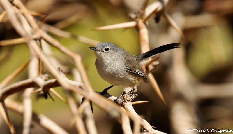 A Blue-gray Gnatcatcher photographed in Palm Desert, CA.