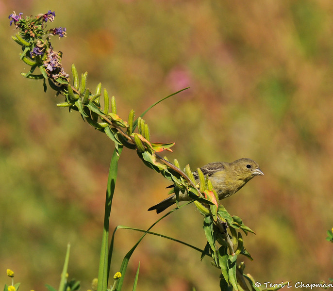 A female Lesser Goldfinch in a field of wildflowers