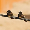 Fledgling Black Phoebes perched on the wire of the Asian Elephant enclosure at the LA Zoo