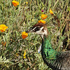 A female Peahen with California Poppies