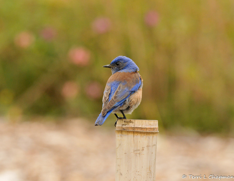 A male Western Bluebird perched on a bamboo fence post