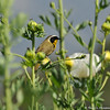 A male Common Yellow-throat perched on a Matilaja poppy