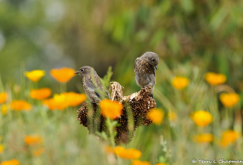 Two fledgling Western Bluebirds perched on a dead sunflower amongst California Poppies