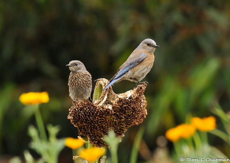 A female Western Bluebird and her offspring perched on a dead sunflower