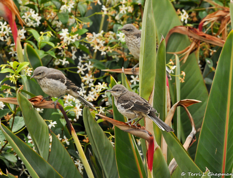 Three fledgling Northern Mockingbirds, perched on a Bird of Paradise  bush in my neighbor's garden, waiting for their parents to return with food.