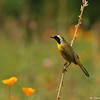 A male Common Yellowthroat Warbler