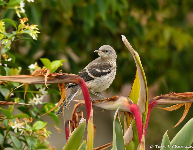 A fledgling Northern Mockingbird in my neighbor's garden.