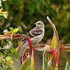 A fledgling Northern Mockingbird in my neighbor's garden.