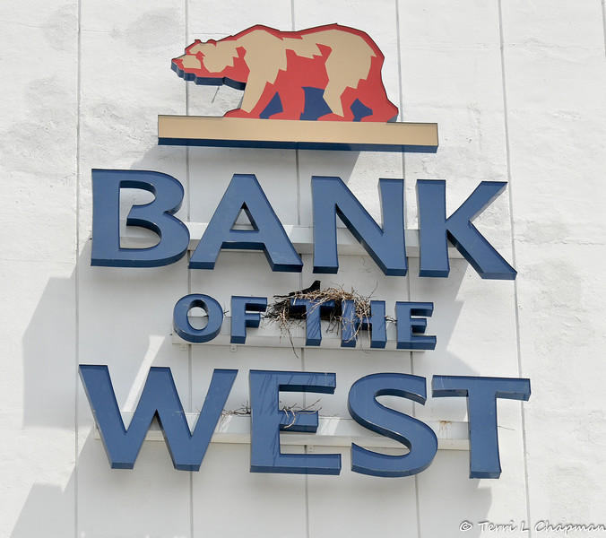 A family of American Crows nesting on the Bank of the West sign