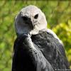 A Harpy Eagle at the LA Zoo