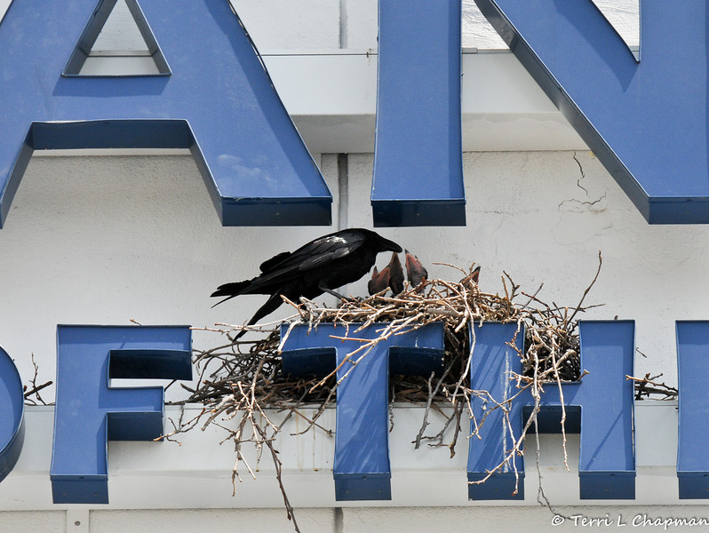 An American Crow parent watching over 4 babies in a nest, which was built on a bank's signage.