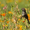 A Song Sparrow in a field of wildflowers
