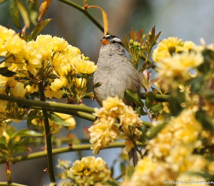 A White-crowned Sparrow perched on a rose bush