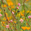 A male Lesser Goldfinch eating seeds from wildflowers