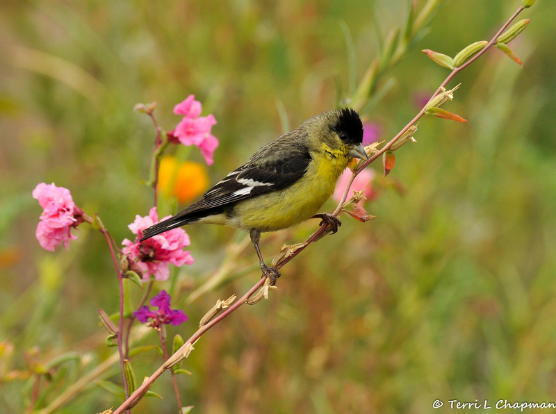 A male Lesser Goldfinch perched on the stem of a wildflower