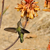 A female Anna's Hummingbird drinking nectar from a Red Hot Poker plant
