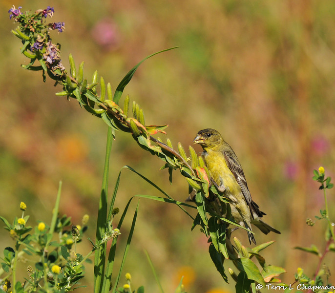 A male Lesser Goldfinch eating the seeds off a wildflower