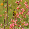 A male Lesser Goldfinch perched on Elegant Clarkia