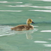 A gosling swimming in the fountain at the LA Arboretum