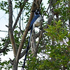 This is a female Black-throated Magpie-Jay that was photographed in Burbank, CA on May 9, 2014. This bird is native to Northwest Mexico and this species has been seen in Burbank dating back to 2010. No one knows for sure if this is a wild bird or escaped from a breeder. Either way, it was a great surprise to see her and a treat to photograph her.