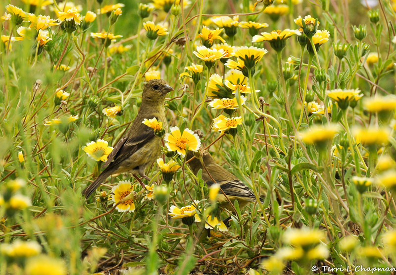 Two female Lesser Goldfinches amongst a field of Tidy Tips flowers