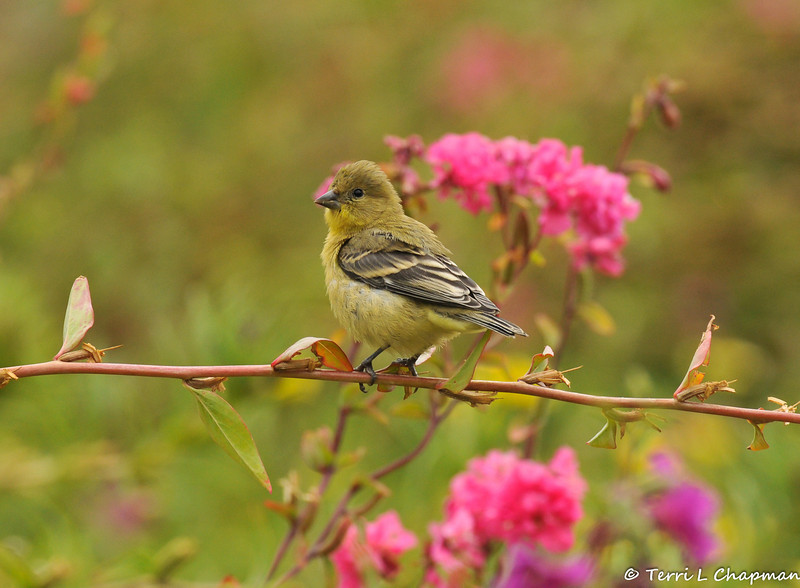 A female Lesser Goldfinch perched on a wildflower stem