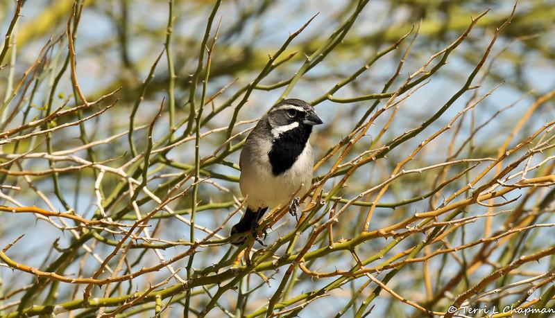 A Black-throated Sparrow