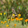 A fledgling Western Bluebird perched on a dead sunflower amongst California Poppies