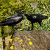 Two American Crows playfully exchanging kisses in the water fountain