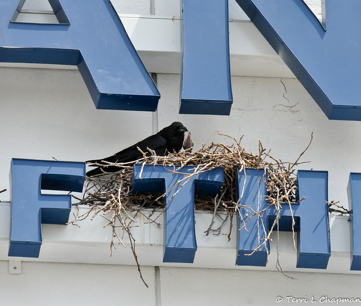 A parent crow watching over 4 babies in a nest, which was built on a bank's signage.