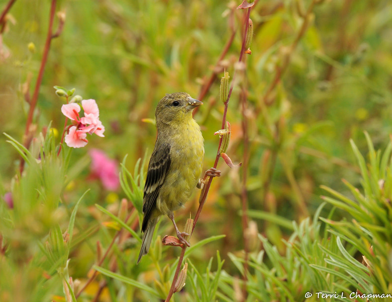 A female Lesser Goldfinch eating seeds from wildflowers
