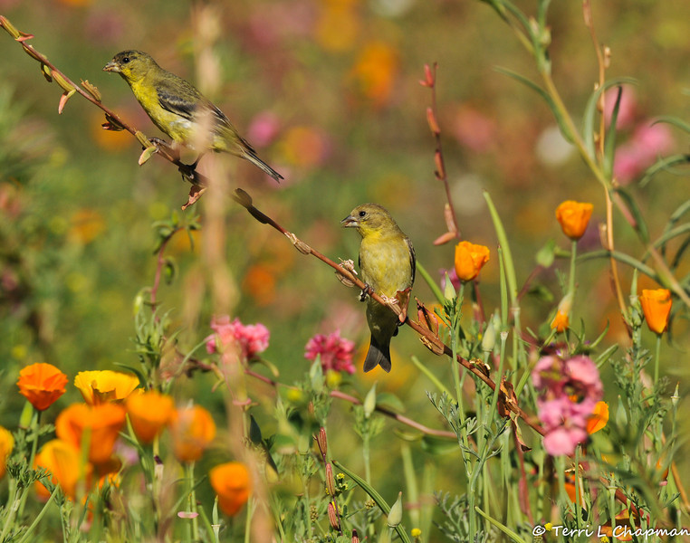 A male and female Lesser Goldfinch in a field of wildflowers