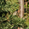 A Warbling Vireo