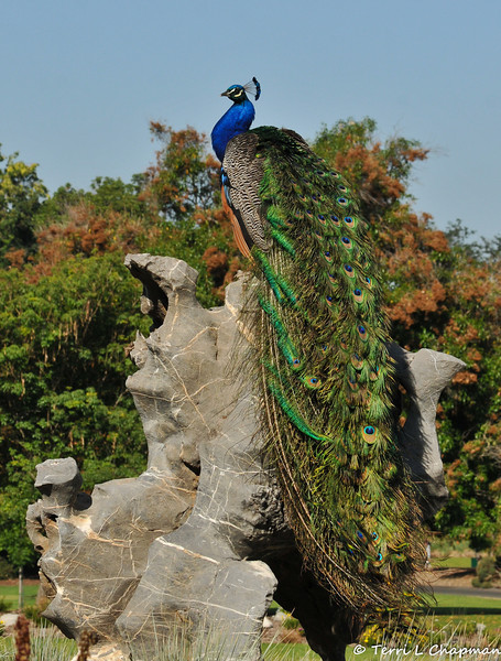 A male Indian Peacock posing at the LA Arboretum