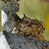 Two baby Costa's Hummingbirds photographed in Palm Desert, CA