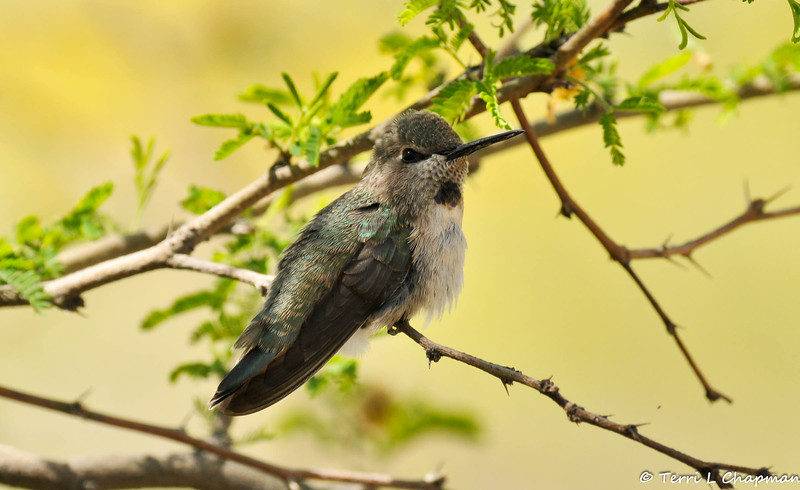 A female Costa's Hummingbird photographed in Palm Desert, CA.