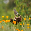 A fledgling Western Bluebird perched on a dead sunflower bloom amongst California Poppies