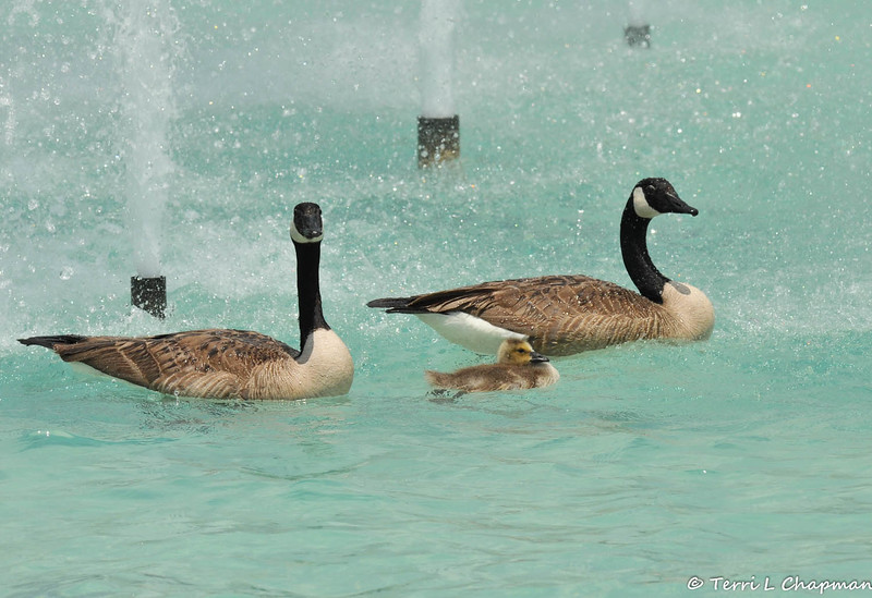 A gosling and its parents swimming in the fountain at the LA Arboretum