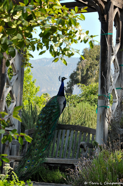 A male Indian Peacock at the LA Arboretum