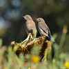 Two fledgling Western Bluebirds perched on a sunflower that had been eaten by the birds