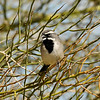 A Black-throated Sparrow photographed in Palm Desert, CA.