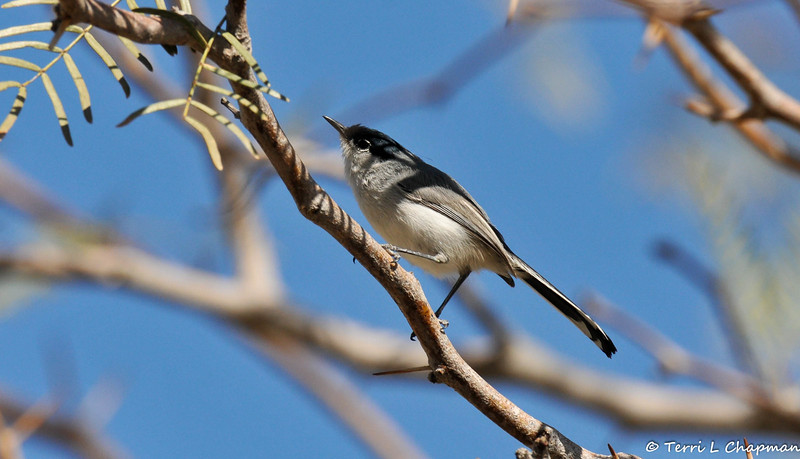 A Black-tailed Gnatcatcher photographed in Palm Desert, CA