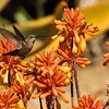 An Anna's Hummingbird flying over Red Hot Poker plants