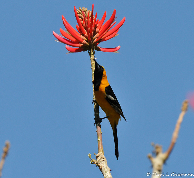 A male Hooded Oriole with an insect in its bill and perched on the branch of a blooming Naked coral tree.