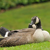 A beautiful young Canada Goose