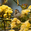 A White-crowned Sparrow eating a rose petal